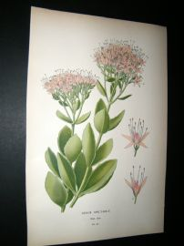 Step 1897 Antique Botanical Print. Sedum Spectable